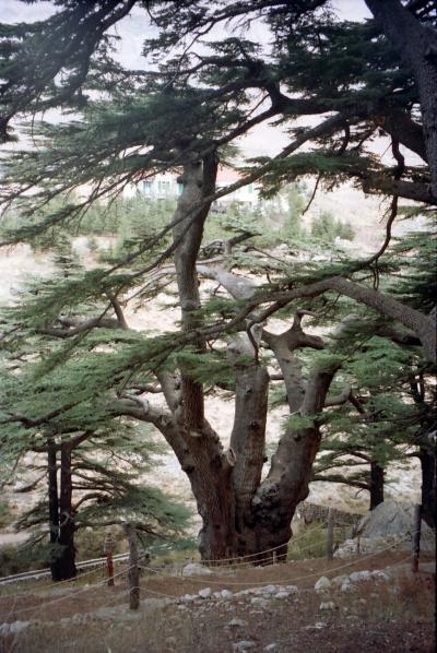 レバノン・・・レバノン杉を訪れる