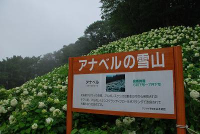 """雨に濡れる""""あじさい""""・・・ ~ 東京サマーランド あじさい園 ~"""