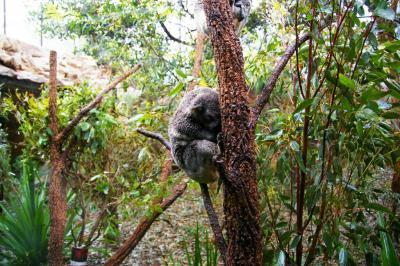 シドニー自然館 コアラは夜行性でした