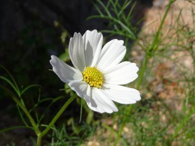 36京丹波町秘密基地 秘密基地にコスモスが咲きました
