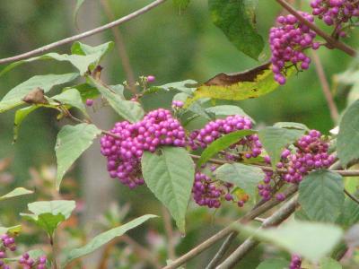 秋の色を求めての旅2008伊豆ケ岳を越えるハイキング?山野草編