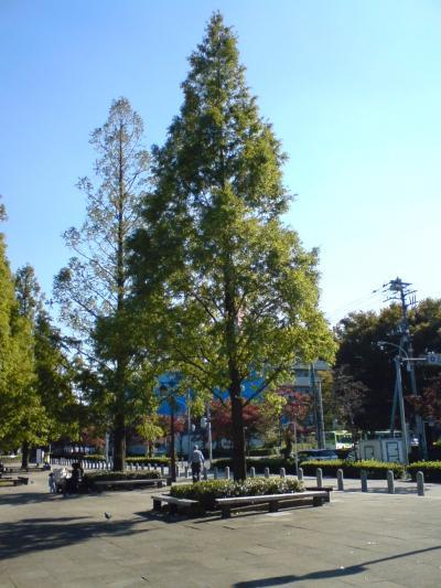 浮間公園 メタセコイア