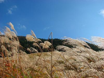 すすきの美しい箱根 仙石原