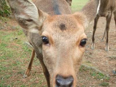 * 奈良県 【奈良公園と鹿ちゃんと】 2008*