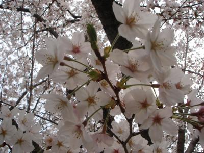 醍醐寺に桜を見に行こう!!