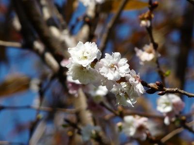 11月に都内で桜探し(木場公園 子福桜1/6)