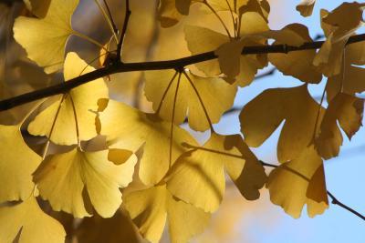 神宮外苑のいちょう並木を見に出かける