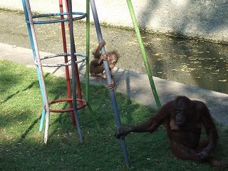 ガイド付きツアー4動物園でオランウータンのショー