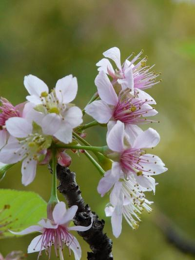 12月の桜探し(戸越公園 ヒマラヤ桜)
