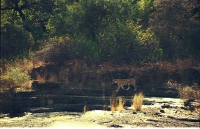 野生のトラを見た~インド・ランタンボール国立公園~