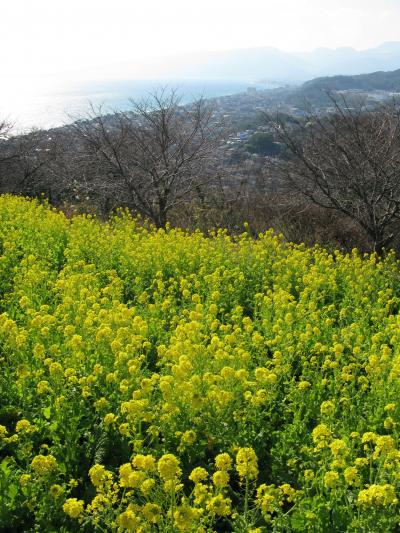 【近郊10】春の先取り!菜の花がきれいでした!二宮吾妻山公園