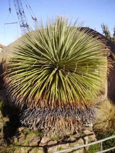 南米ボリビア国ラパスのチチカカ湖の入り口ワタハタの博物館にある珍しい植物プヤ ライモンディー