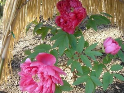 上野・東照宮の冬ぼたん苑を訪れる
