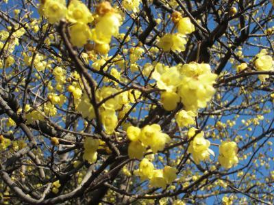 一足早い梅の花