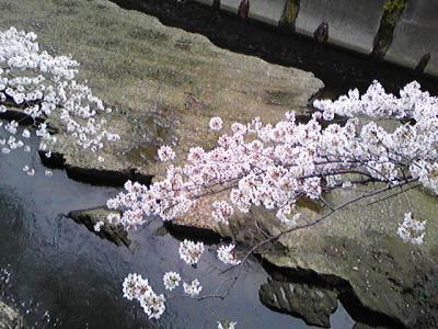 早稲田で花見