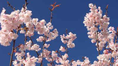 土肥温泉の花見・・・安楽寺の土肥桜