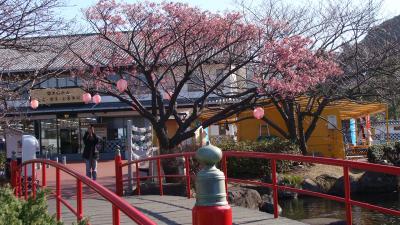 土肥温泉の花見・・・土肥金山の伊豆土肥桜
