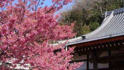 土肥温泉の花見・・・万福寺の伊豆土肥桜