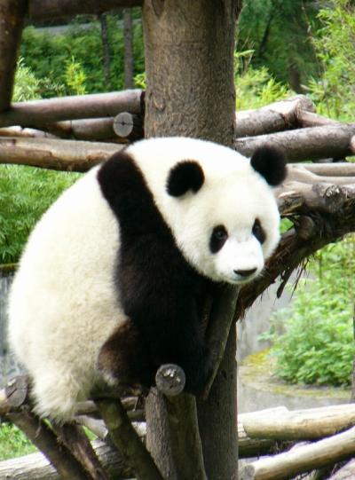 2004夏 臥龍で初めて生のパンダを見た