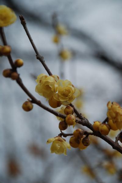 所沢の蝋梅、2009年春の訪れ