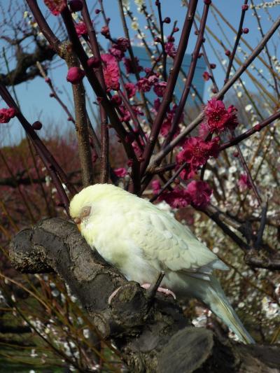 ♪梅の~小枝で~♪