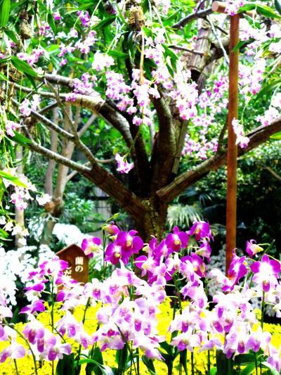 〔らんの里*堂ヶ島〕は様変わり ☆蘭のしだれ桜は豪華な展示!