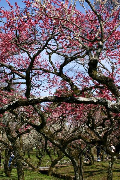 京の春・・・北野天満宮で春の訪れを感じる。梅の花