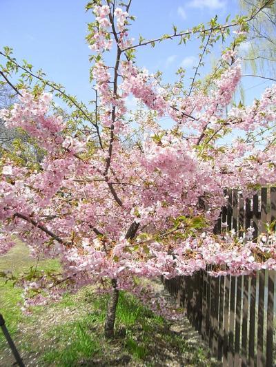 2009京の桜巡り ? 【 淀に咲く河津桜 】