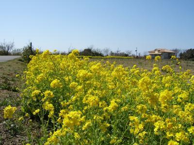 横須賀☆『ソレイユの丘』の菜の花'09