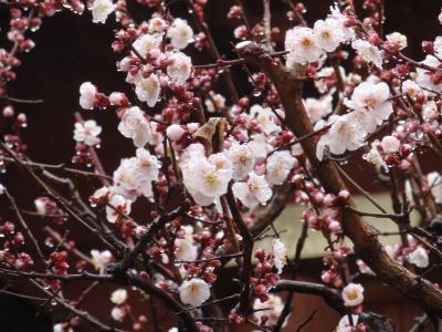 雨の中の観梅(湯島天神) Plum-blossom viewing in rain (Yushima-tenjin)