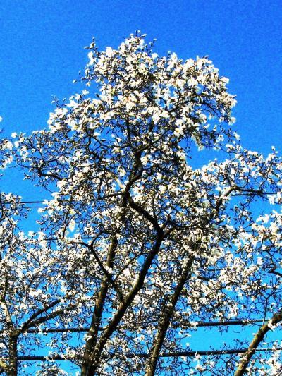 船橋県民の森*セラピーコースを体感 ☆コブシ・辛夷の咲くころに