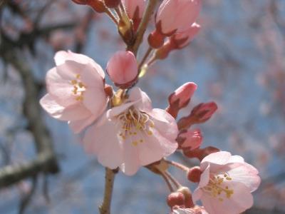 桜の回廊が東山動植物園にできました