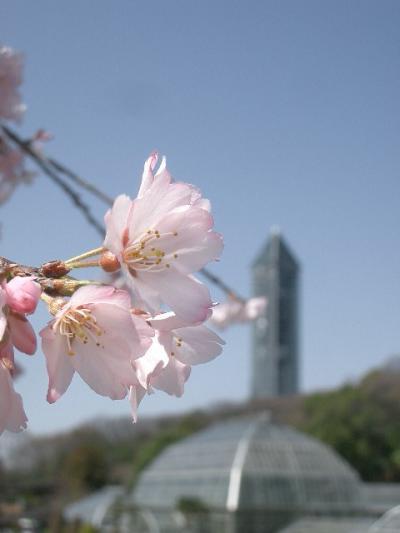 東山植物園の枝垂桜はもう満開