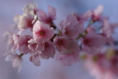 密厳院の安行桜