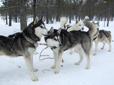 2009 オーロラ&犬ぞり&サンタ紀行 その1