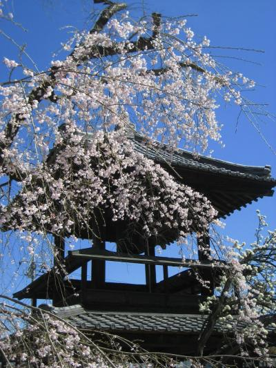 3度目の小川町もカタクリを求めて(1)西光寺のしだれ桜から始まって