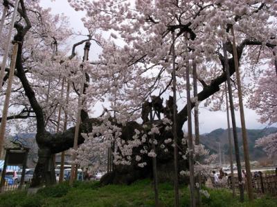 神代桜2009
