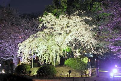 栗林公園 夜桜