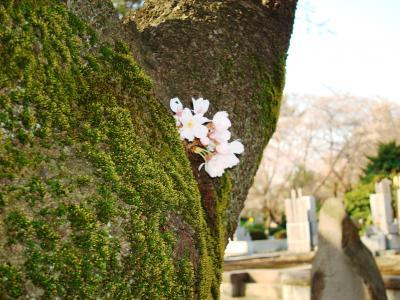 六本木~青山墓地の桜はお洒落?