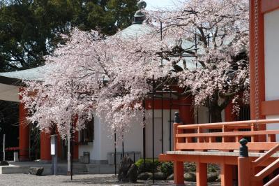 道成寺のサクラ
