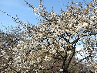 小石川植物園 桜が咲き始めました