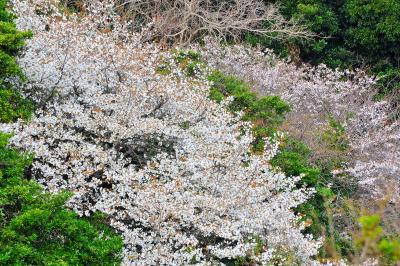 2009.3 勝浦の山桜