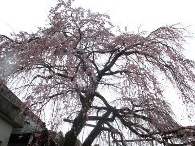 大仁 龍源院のしだれ桜を見てきましたー。