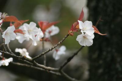 2009春、桜の季節の岩崎城(1):4月1日(1):染井吉野、山桜、岩崎城歴史記念館、枯山水の庭園、水琴窟