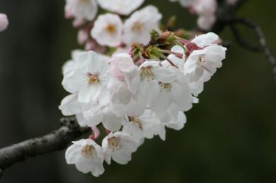 2009春、桜の季節の岩崎城(4:完):4月1日(4):模擬天守、天守閣内の展示品、二の丸、ソメイヨシノ、ヒヨドリ
