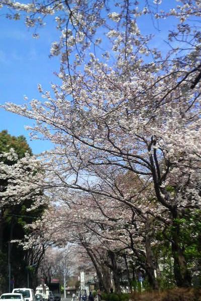 2009年の桜 浮間公園周辺