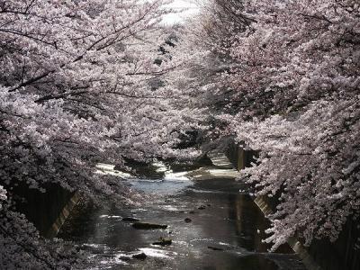 桜花繚乱・石神井川