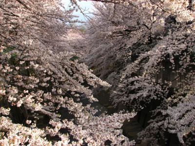 2009春 石神井川散策
