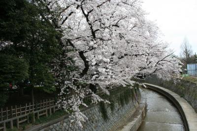 ★中野通りの桜のアーチに魅せられて★