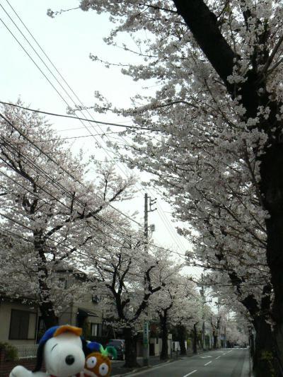 よこはま散歩[新桜ヶ丘の桜]